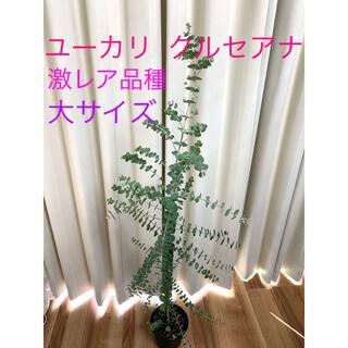 ユーカリ クルセアナ 激レア品種 (Eucalyptus kruseana)(その他)