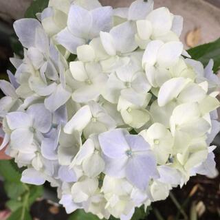 紫陽花苗1株  白〜淡い青紫グラデーション(プランター)