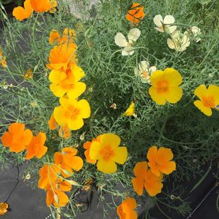 ハナビシソウ(花菱草)の花色(黄、オレンジ、クリーム)ミックスの種50粒(プランター)