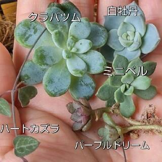 多肉植物  カット苗   セット(その他)