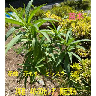 花もも 花桃 ミッスク 3色 花苗木 花苗 2本 50-60センチ(その他)