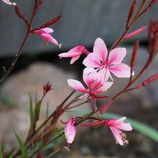 ガウラあかね 白蝶草 ポット苗 まだまだ咲きます(プランター)