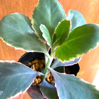多肉植物✴︎ 斑入り 胡蝶の舞錦 抜き苗(プランター)