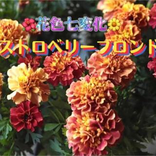 アフリカンマリーゴールド ストロベリーブロンド マリーゴールド 種 種子 20粒(その他)