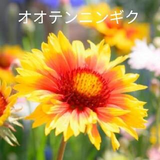 オオテンニンギク  混合  30粒  花種 ガイラルディア(プランター)