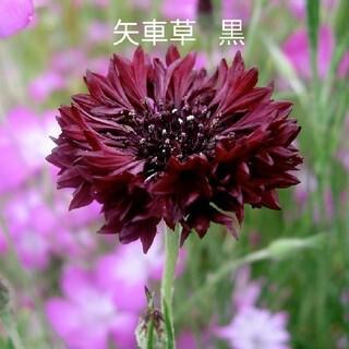 矢車草  黒花  40粒  花種(プランター)