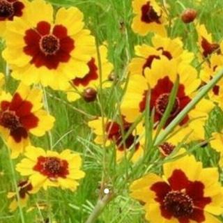 今が撒き時です♡花ことば「一目惚れ」      ハルシャギクの種 (その他)