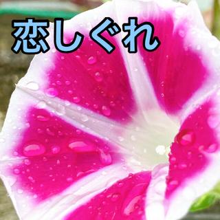 レア 斑入り 恋しぐれ 種 計 9粒 ローズ ハンキング(プランター)