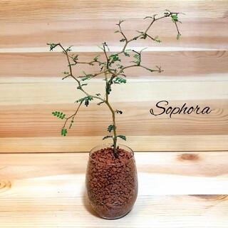 ソファラ リトルベイビー メルヘンの木 ハイドロカルチャー 観葉植物(その他)