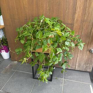 グレープアイビー 観葉植物(その他)