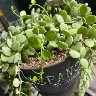 ディスキディア カット苗 観葉植物 2本 ヌンムラリア(その他)