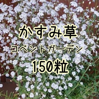 【かすみ草の種】150粒 コベントガーデン 種子(その他)