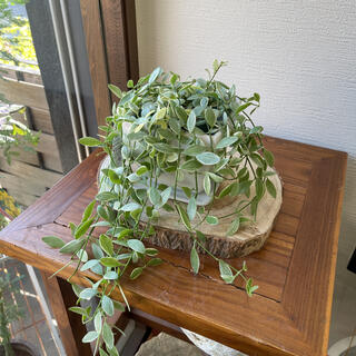 鉢つきディスキディア 観葉植物(その他)
