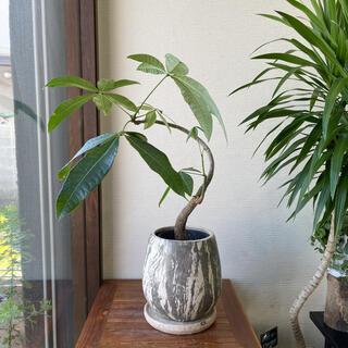 鉢つきパキラ 観葉植物(その他)