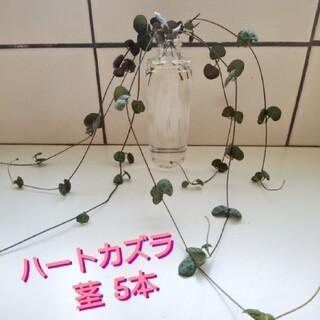ハートカズラ 18cm以上 茎 5本(その他)