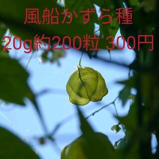緑のカーテン風船かずらの種子20g約200粒(その他)