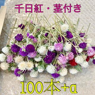 千日紅【茎付き・全長約10cm】100本+α・ドライフラワー(ドライフラワー)