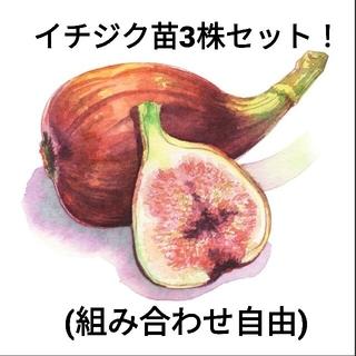 イチジク苗 3株セット!  (組み合わせ自由)(プランター)
