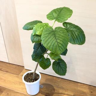 フィカス ウンベラータ ゴムの木 観葉植物 75cm 鉢ごと(その他)