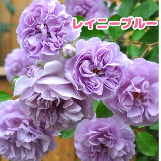 レイニーブルー 青薔薇★挿し木苗★薔薇苗★四季咲き★強健★バラ(その他)