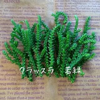 多肉植物 【若緑】カット苗(プランター)