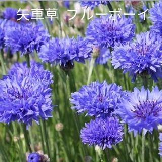 矢車草  ブルーボーイ  40粒  青花  種(プランター)