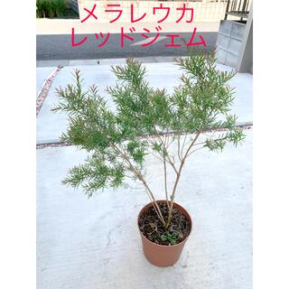 メラレウカ レッドジェム 大きめサイズ 鉢付き(その他)