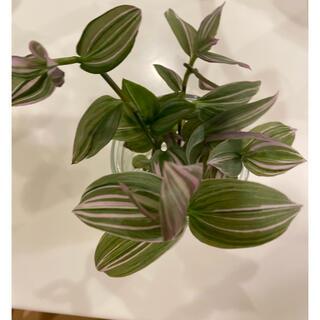 観葉植物 トラディスカンティア カット苗 5本(プランター)