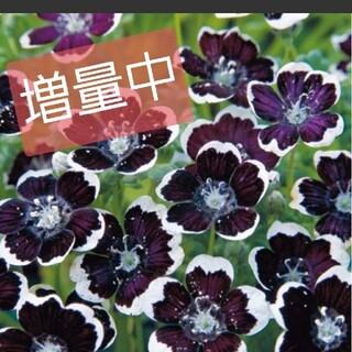 ネモフィラの種 ペニーブラック 40粒→50粒(プランター)