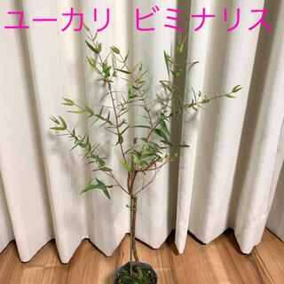 ユーカリ ビミナリス レア品種(その他)