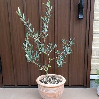 可愛い実が付いてます♪オリーブの木ルッカ テラコッタ鉢植え シンボルツリー 苗(プランター)