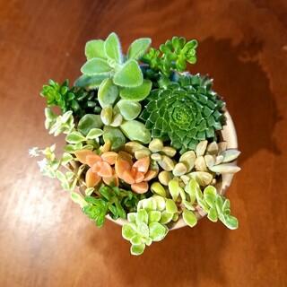 ✼多肉植物✼寄せ植えカット苗✼11(その他)