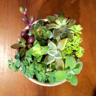✼多肉植物✼寄せ植えカット苗✼13(その他)