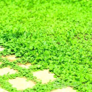 【説明書つき】ダイカンドラ ディコンドラ 13g 種子。お試しサイズ!(その他)