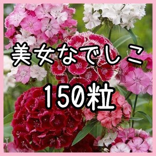【美女なでしこ】150粒 種子 ダイアンサス ナデシコ なでしこ(その他)