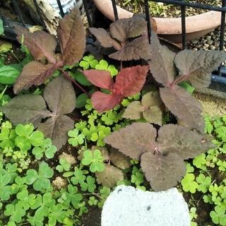赤紫三つ葉 黒三つ葉 紫ミツバ種50粒(その他)