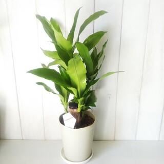 ③幸福の木❗️観葉植物マッサンゲアナ‼️縁起物❗️5号鉢❗️受け皿プレゼント(プランター)