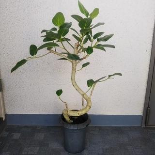①フィカス ベンガレンシス曲がり‼️ゴムの木❗️樹形綺麗❗️幹しっかり!高さ◎(プランター)
