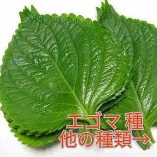 野菜種☆エゴマ☆変更→ほうれん草 丸オクラ つるむらさき 京みずな わさび菜(野菜)