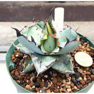 最終‼️多肉植物 アガベ チタノタブルーボール ブラック&ブルー 美形 抜き苗1(その他)