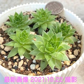特価‼️多肉植物 センペルビウム 上海ローズ 5苗セット 抜き苗1(その他)