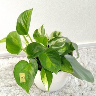 ③ 3種類セット グローバルグリーン 苗 寄せ植え(その他)