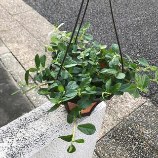 フィカスシャングリラ ツルガジュマル 5号 吊り鉢(プランター)