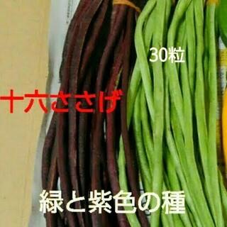 緑と紫の十六ささげ種 30粒➕数粒オマケ たねの出品です(野菜)