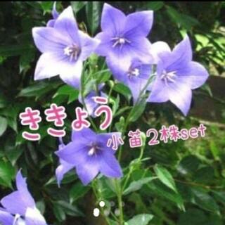タイムセール 桔梗 2株set(その他)