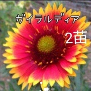 タイムセール ガイラルディア 花苗 2株(その他)