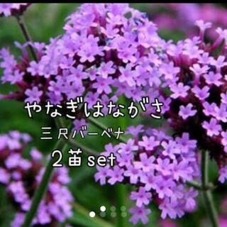 ヤナギハナガサ  花苗三尺バーベナ 2苗set(その他)