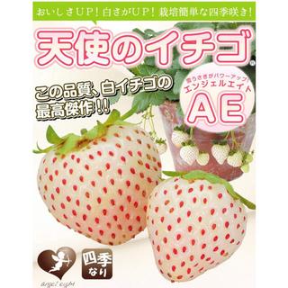 2株セット⭐︎無農薬 白いちご 天使のいちご エンジェルエイト いちご苗(野菜)