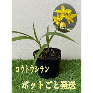 コウトウシラン 黄色い花 ポットごと発送 希少 シラン 観葉植物(その他)