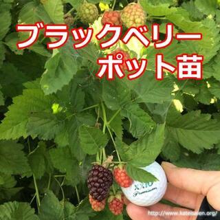 ■ブラックベリーポット苗 トゲ無し ボイセンベリー健康フルーツ 無農薬栽培♪(その他)